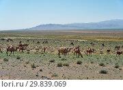 Купить «Bactrian camels in mongolian stone desert in Mongolia.», фото № 29839069, снято 7 июля 2017 г. (c) Serg Zastavkin / Фотобанк Лори