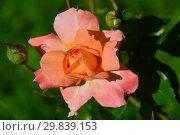 Купить «Роза чайно-гибридная Тип Тойс (лат. Tip Toes). H.C.Brownell (Браунелл). United States (США) 1948», эксклюзивное фото № 29839153, снято 14 августа 2015 г. (c) lana1501 / Фотобанк Лори