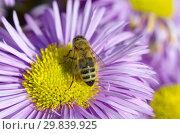 Купить «Пчела собирает нектар на цветке мелколепестника (лат. Erigeron)», фото № 29839925, снято 19 июля 2017 г. (c) Елена Коромыслова / Фотобанк Лори