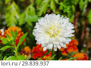 Купить «Белая астра (лат. Aster) на клумбе в саду», фото № 29839937, снято 21 августа 2017 г. (c) Елена Коромыслова / Фотобанк Лори
