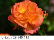 Купить «Роза плетистая (Modern Shrub) Сахара (TANarasah), (Sahara). Rosen Tantau (Розы Тантау), Германия 1996», эксклюзивное фото № 29849113, снято 7 августа 2015 г. (c) lana1501 / Фотобанк Лори