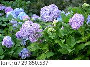 Купить «Лиловые и синие цветы гортензии (Hydrangea L.), крупный план», фото № 29850537, снято 8 июля 2018 г. (c) Ирина Борсученко / Фотобанк Лори