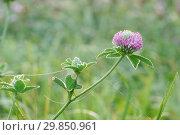 Купить «Капли росы и паутина на цветке лугового клевера», фото № 29850961, снято 1 сентября 2018 г. (c) Dmitry29 / Фотобанк Лори
