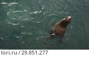 Купить «Сивуч плавает в океане», видеоролик № 29851277, снято 4 февраля 2019 г. (c) А. А. Пирагис / Фотобанк Лори