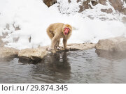 Купить «japanese macaque or snow monkey in hot spring», фото № 29874345, снято 7 февраля 2018 г. (c) Syda Productions / Фотобанк Лори