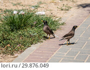 Купить «Two common mynas are walking in the park», фото № 29876049, снято 11 июня 2018 г. (c) Наталья Волкова / Фотобанк Лори