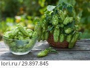 Ripe hops, rustical still life. Стоковое фото, фотограф Короленко Елена / Фотобанк Лори
