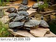 Купить «Red-Eared Slider Turtles», фото № 29899169, снято 19 июля 2017 г. (c) Наталья Двухимённая / Фотобанк Лори
