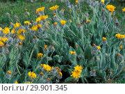 Купить «Hieracium Villosum, Alpi, Italy», фото № 29901345, снято 27 марта 2019 г. (c) age Fotostock / Фотобанк Лори