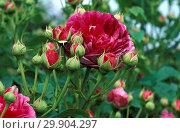Купить «Rosa Gallica Assemblages des Beautes», фото № 29904297, снято 23 апреля 2019 г. (c) age Fotostock / Фотобанк Лори
