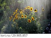 Купить «Rain on Rudbeckia», фото № 29905857, снято 9 июля 2020 г. (c) age Fotostock / Фотобанк Лори