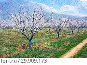 Купить «Apricot farm during sping season against Vayk mountain range, Vayots Dzor Province, Armenia», фото № 29909173, снято 16 марта 2018 г. (c) Papoyan Irina / Фотобанк Лори