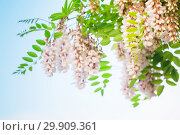 Купить «White flowers of robinia pseudoacacia», фото № 29909361, снято 5 мая 2018 г. (c) EugeneSergeev / Фотобанк Лори