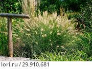 Купить «Pennisetum villosum», фото № 29910681, снято 27 марта 2019 г. (c) age Fotostock / Фотобанк Лори