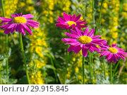 Купить «Пиретрум розовый (лат. Pyrethrum roseum), или персидские ромашки цветут в летнем саду», фото № 29915845, снято 16 июня 2018 г. (c) Елена Коромыслова / Фотобанк Лори