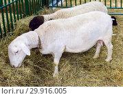 Катумская овца. Стоковое фото, фотограф Галина Савина / Фотобанк Лори