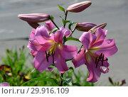 Купить «Лилия (лилия дерево) ОТ-гибрид (ориенпеты) Миф (Голиаф), (лат. Myth)», эксклюзивное фото № 29916109, снято 27 июля 2015 г. (c) lana1501 / Фотобанк Лори