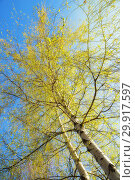 Купить «Birch with blooming leaves against the blue sky, bottom-up view», фото № 29917597, снято 7 мая 2017 г. (c) Юлия Бабкина / Фотобанк Лори