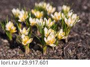 Купить «Flowers yellow crocus in early spring», фото № 29917601, снято 15 апреля 2018 г. (c) Юлия Бабкина / Фотобанк Лори