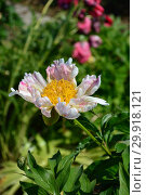 Купить «Пион Ито-гибрид Пастель Сплендор (лат. Pastel Splendor)», эксклюзивное фото № 29918121, снято 14 июня 2015 г. (c) lana1501 / Фотобанк Лори