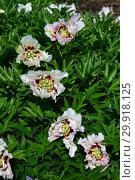 Купить «Пион Ито-гибрид Пастель Сплендор (лат. Pastel Splendor)», эксклюзивное фото № 29918125, снято 14 июня 2015 г. (c) lana1501 / Фотобанк Лори