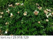 Купить «Пион ито гибрид Пастель Сплендор (лат. Pastel Splendor)», эксклюзивное фото № 29918129, снято 14 июня 2015 г. (c) lana1501 / Фотобанк Лори