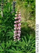 Купить «Цветок люпина многолистного (лат. Lupinus polyphyllus)», эксклюзивное фото № 29918133, снято 14 июня 2015 г. (c) lana1501 / Фотобанк Лори
