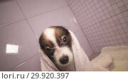 Купить «Papillon dog in towel after bathing in the bathroom stock footage video», видеоролик № 29920397, снято 6 февраля 2019 г. (c) Юлия Машкова / Фотобанк Лори
