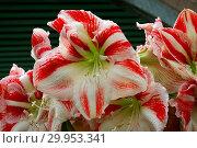 Купить «Hippeastrum Clown, amaryllis», фото № 29953341, снято 5 июня 2020 г. (c) age Fotostock / Фотобанк Лори