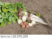 Купить «Свежесобранные овощи лежат на земле», фото № 29970205, снято 15 сентября 2018 г. (c) Елена Коромыслова / Фотобанк Лори