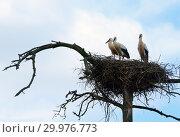 Купить «Three storks stand in their nest high on a crooked pine tree», фото № 29976773, снято 21 июля 2018 г. (c) Алексей Маринченко / Фотобанк Лори