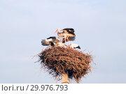 Купить «A family of storks in their nest, sitting high on a pole», фото № 29976793, снято 29 июля 2018 г. (c) Алексей Маринченко / Фотобанк Лори