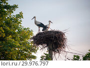 Купить «A family of storks in their nest, sitting high on a pole near the maple», фото № 29976797, снято 29 июля 2018 г. (c) Алексей Маринченко / Фотобанк Лори