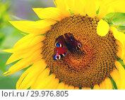 Купить «The butterfly of Peacock eye sitting on the flower of a sunflower», фото № 29976805, снято 30 июля 2018 г. (c) Алексей Маринченко / Фотобанк Лори