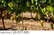 Купить «Ripe white grapes on branch with blurred vineyard background», видеоролик № 29977005, снято 27 сентября 2018 г. (c) Яков Филимонов / Фотобанк Лори
