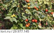 Купить «Зизифус настоящий, или Унаби, или Ююба китайская, или Китайский финик ( Ziziphus jujuba) — растение; вид рода Зизифус семейства Крушиновые (Rhamnaceae)», видеоролик № 29977145, снято 27 октября 2018 г. (c) Олег Хархан / Фотобанк Лори