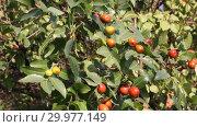 Купить «Зизифус настоящий, или Унаби, или Ююба китайская, или Китайский финик ( Ziziphus jujuba) — растение; вид рода Зизифус семейства Крушиновые (Rhamnaceae)», видеоролик № 29977149, снято 27 октября 2018 г. (c) Олег Хархан / Фотобанк Лори