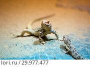 Купить «Two lizards on sand», фото № 29977477, снято 23 сентября 2014 г. (c) Куликов Константин / Фотобанк Лори