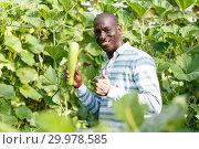 Skilled farmer checking harvest of zucchini. Стоковое фото, фотограф Яков Филимонов / Фотобанк Лори