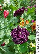Купить «Пионовидные махровые маки цветут в саду», фото № 29979005, снято 22 июля 2018 г. (c) Елена Коромыслова / Фотобанк Лори