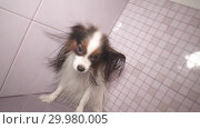 Купить «Papillon dog is blow dry after bathing in bathroom stock footage video», видеоролик № 29980005, снято 6 февраля 2019 г. (c) Юлия Машкова / Фотобанк Лори