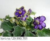 Купить «Сортовая Узамбарская фиалка - Saintpaulia (African violet )», фото № 29990701, снято 22 мая 2019 г. (c) ElenArt / Фотобанк Лори