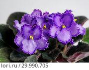 Купить «Сортовая Узамбарская фиалка - Saintpaulia (African violet )», фото № 29990705, снято 20 мая 2020 г. (c) ElenArt / Фотобанк Лори