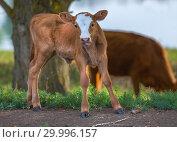 Купить «Телёнок на лугу. Сельскохозяйственное животное на природе.», фото № 29996157, снято 19 мая 2017 г. (c) Лашков Фёдор / Фотобанк Лори