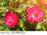 Купить «Rose flower in the garden, closeup. Summer flower of red rose under summer sunlight, flower landscape», фото № 29998021, снято 12 августа 2016 г. (c) Зезелина Марина / Фотобанк Лори