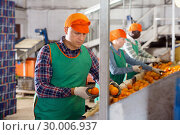 Купить «Focused man working on citrus sorting line at warehouse, checking quality of tangerines», фото № 30006937, снято 15 декабря 2018 г. (c) Яков Филимонов / Фотобанк Лори
