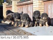 Купить «Tibetan Mastiff puppies», фото № 30075905, снято 29 марта 2014 г. (c) Сергей Лаврентьев / Фотобанк Лори