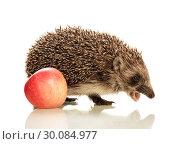 Купить «Beautiful cute little hedgehog with an open mouth and an apple», фото № 30084977, снято 20 сентября 2014 г. (c) Сергей Молодиков / Фотобанк Лори