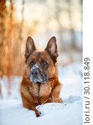 Купить «Red cute german shepherd  male dog portrait at snow at the winter», фото № 30118849, снято 12 февраля 2019 г. (c) Julia Shepeleva / Фотобанк Лори