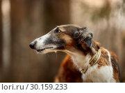 Купить «Russian borzoi dogs portrait in an autumn park», фото № 30159233, снято 20 октября 2018 г. (c) Julia Shepeleva / Фотобанк Лори